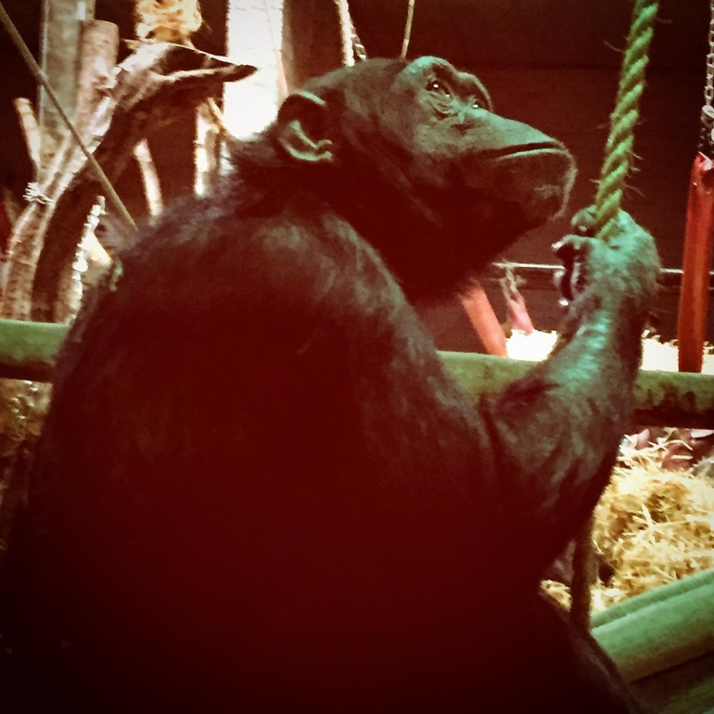 The Chimpanzees are my favourite chimpanzees whipsnadezoo